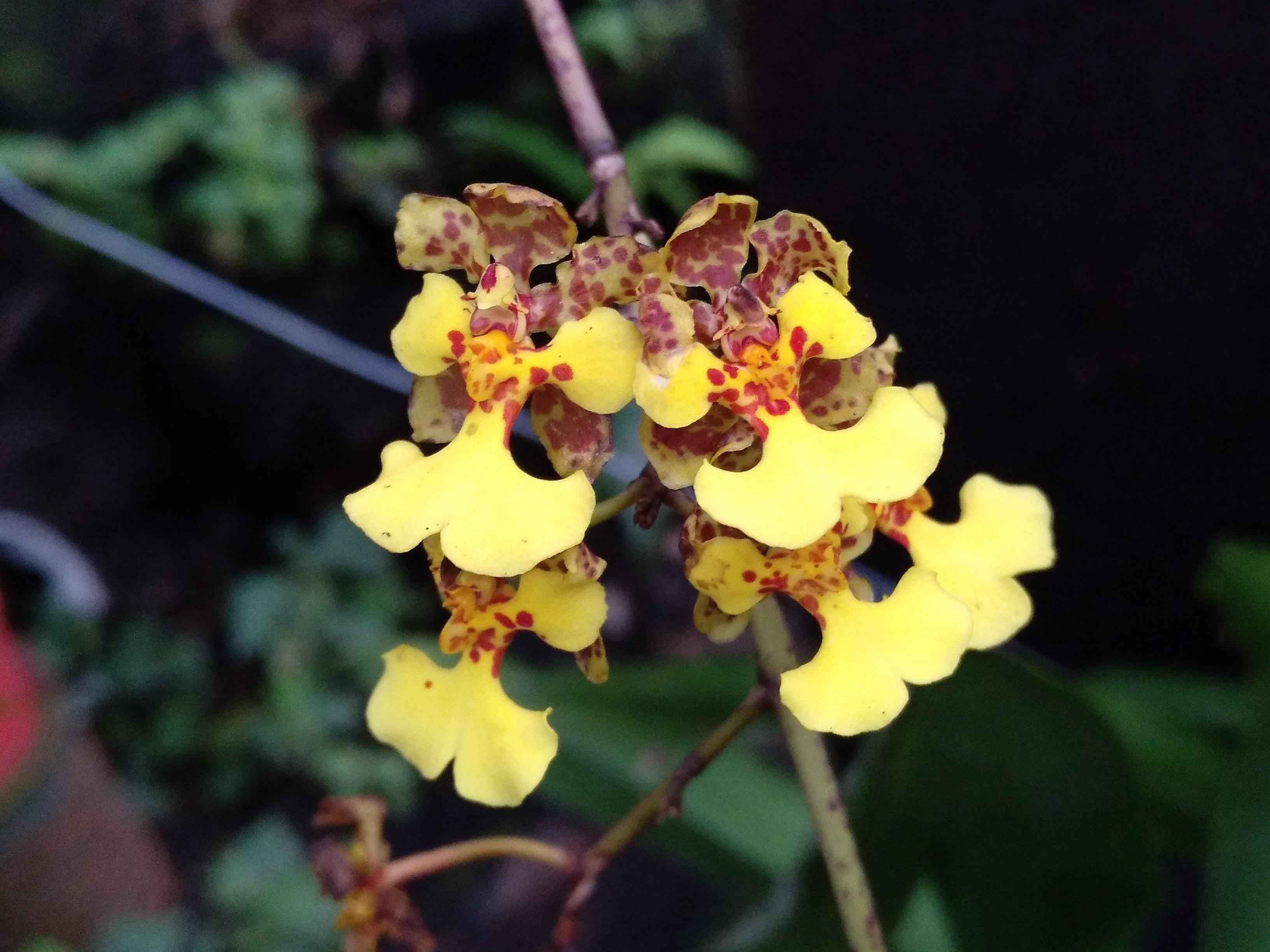 Oncidium bolivianense