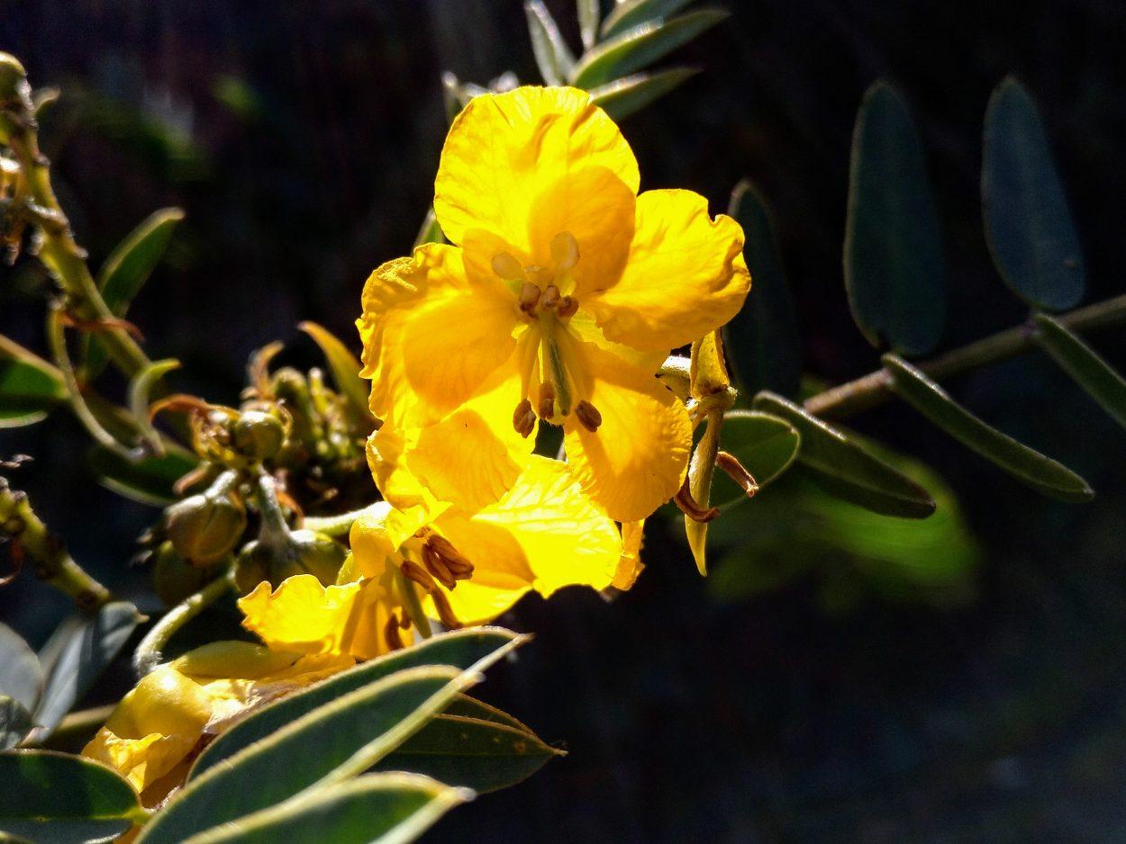 Cassia hookeriana
