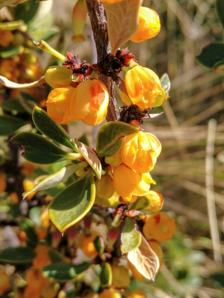 Berberis sp.