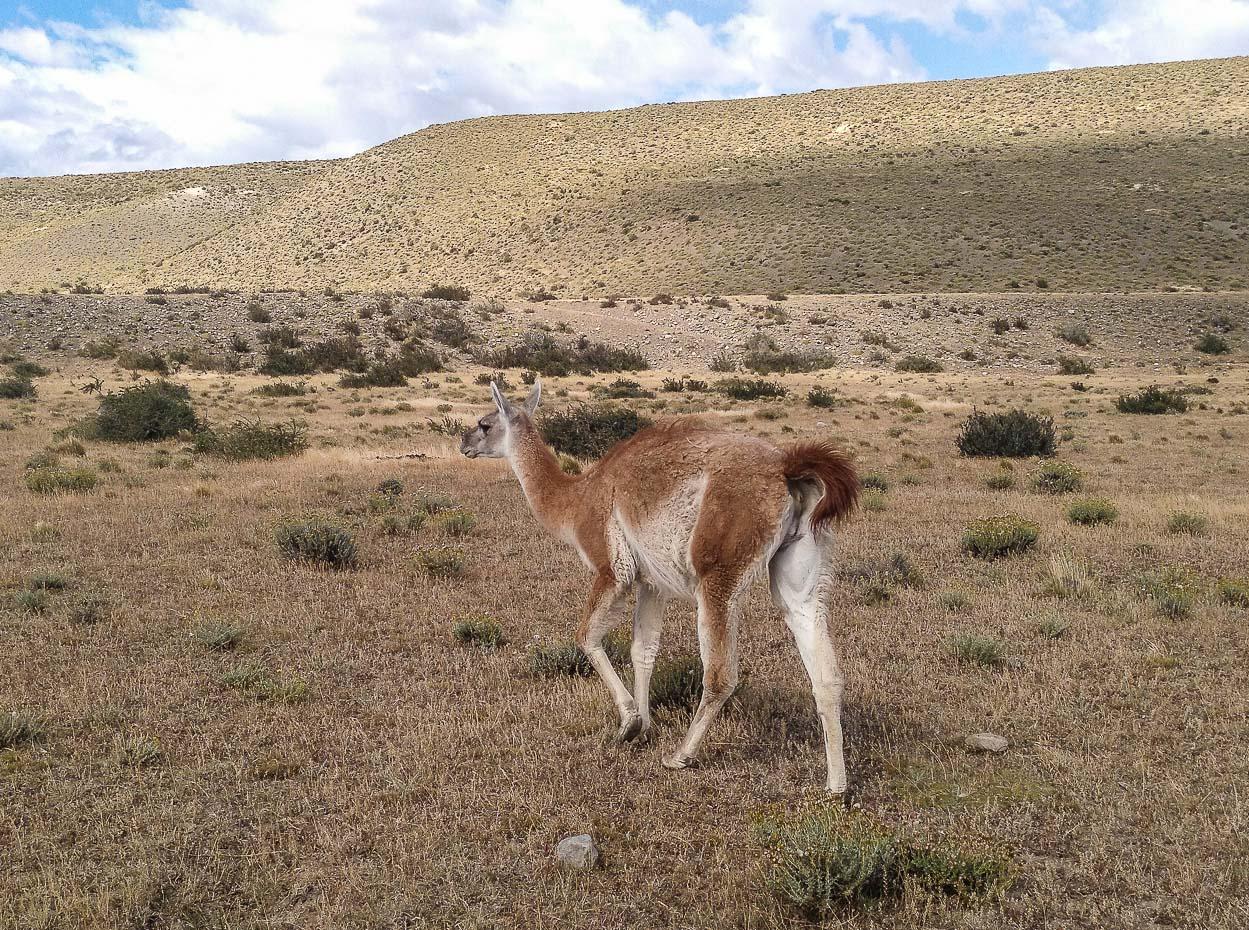 Lama guanicoe (guanaco)