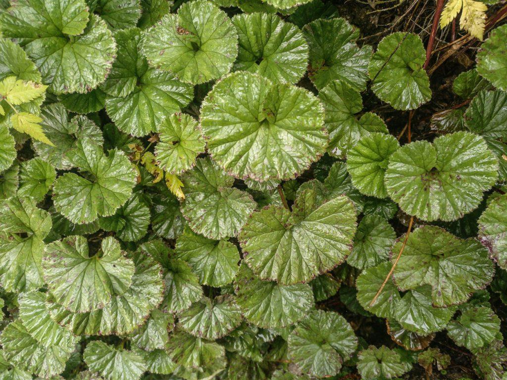 Gunnera magellanica. Planta herbácea rastrera de Chile.