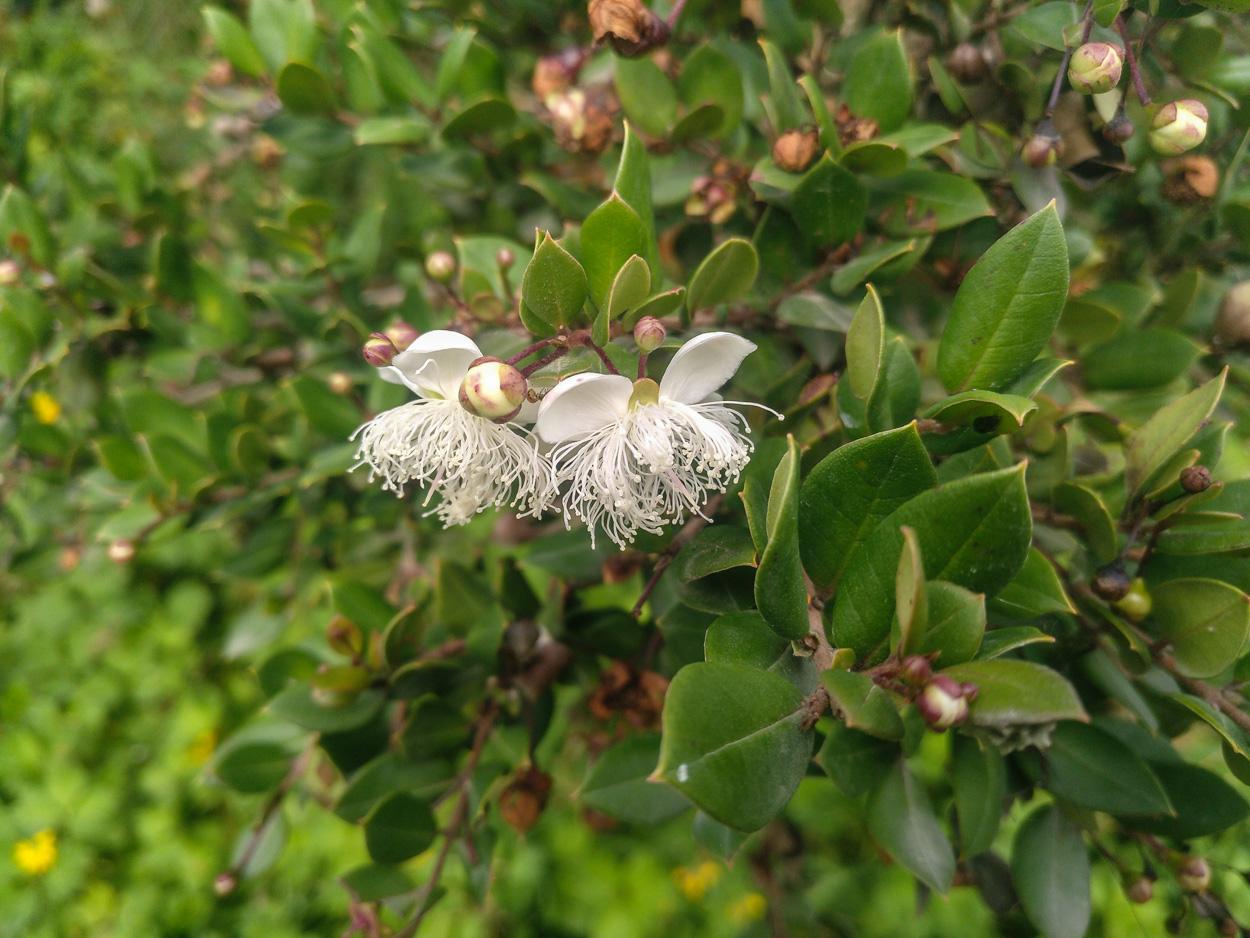 Luma apiculata (arrayán)