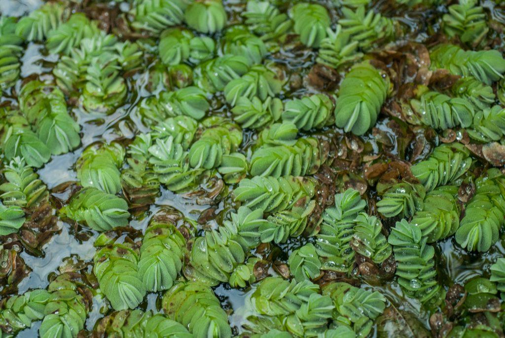 Salvinia bilova es un helecho acuático de la familia Salviniaceae. Fotografiada en Bolivia