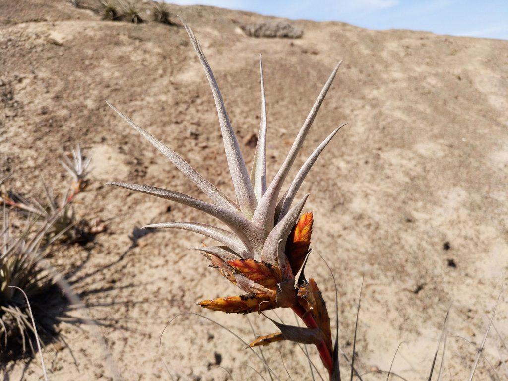 Planta de Tillandsia latifolia en desierto de Nazca