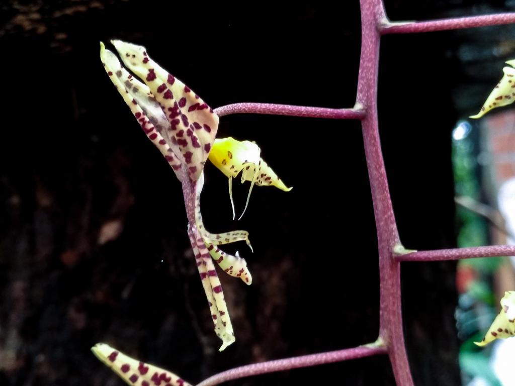 Gongora maculata, orquídea sudamericana