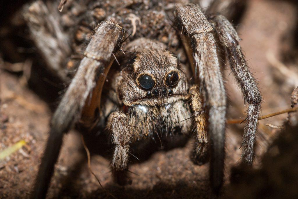 Lycosa tarantula (araña lobo) de Cabo de Gata España