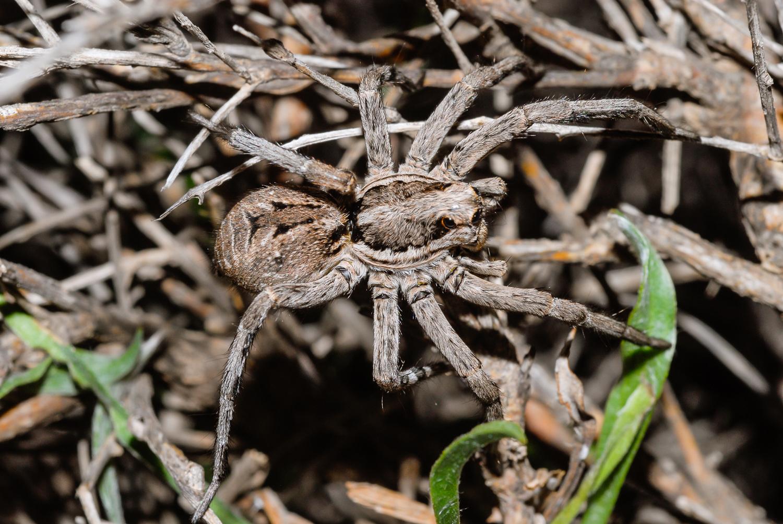 Lycosa tarantula (Araña Lobo)
