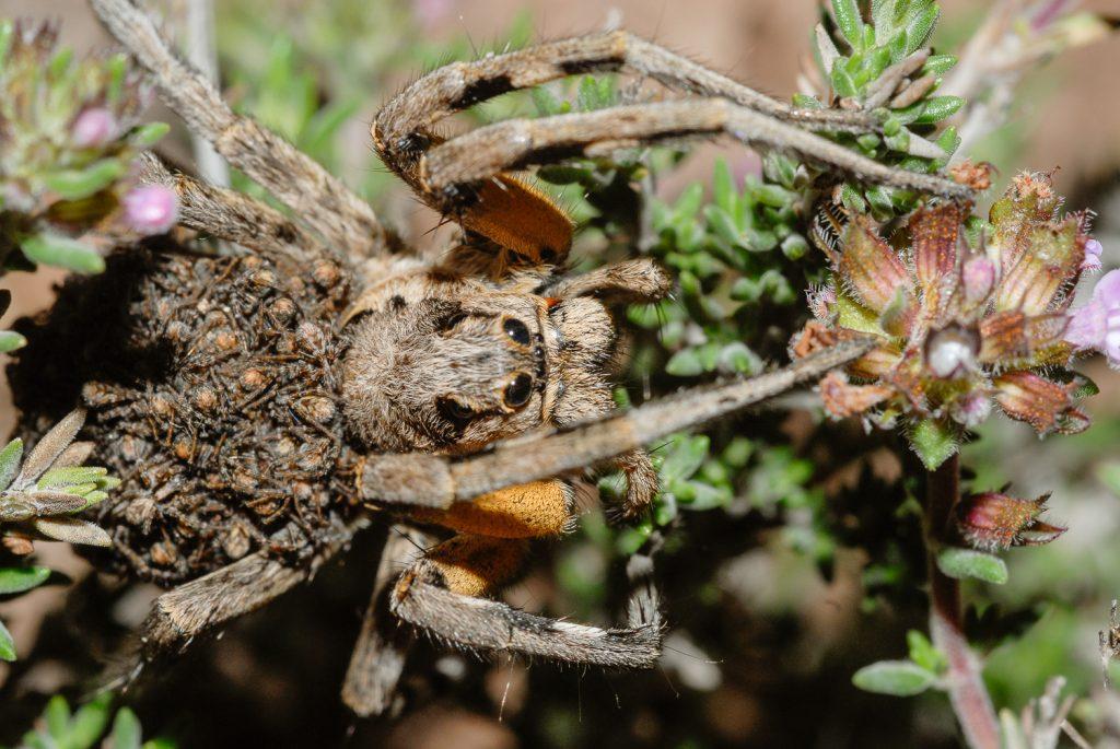 Lycosa tarantula (araña lobo) de Cabo Cabo de Gata sobre un tomillo de invierno.