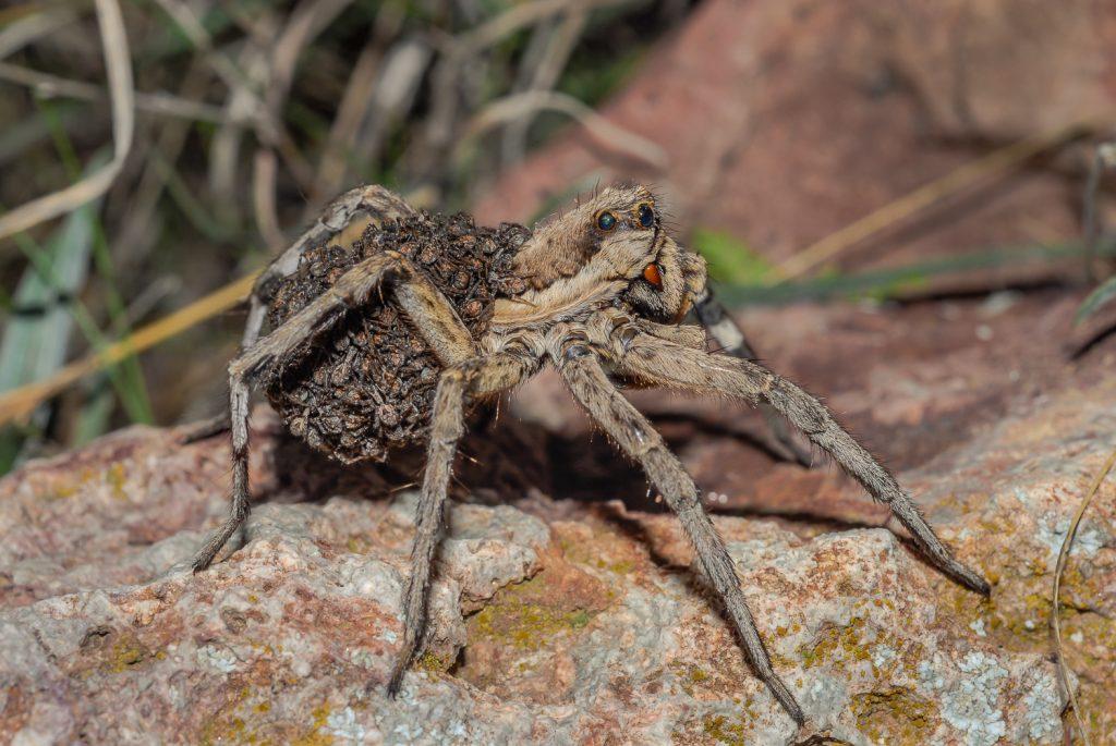 Lycosa tarantula con sus crías transportadas en el abdomen