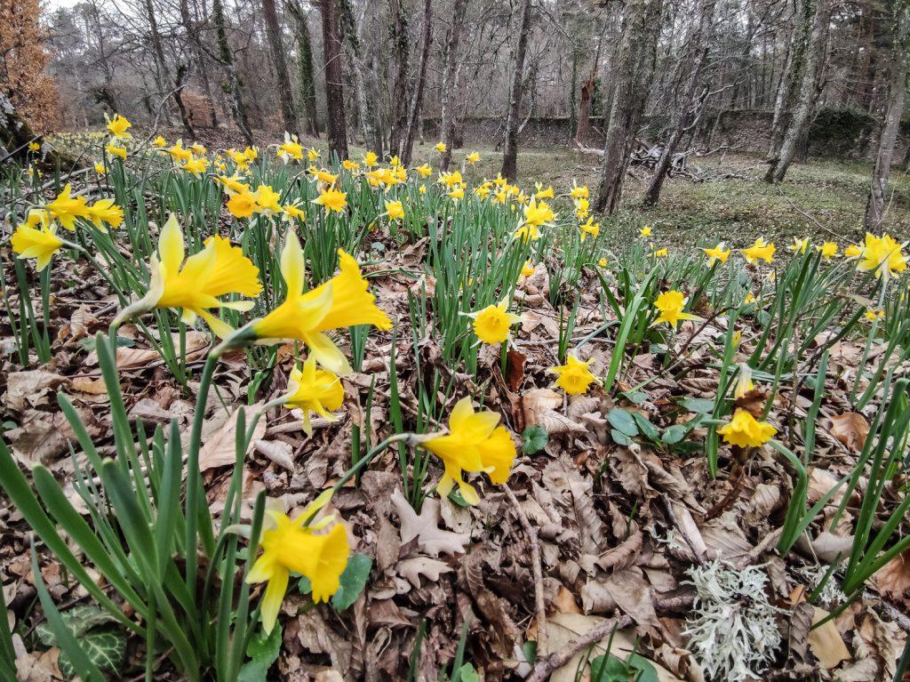 Narcissus pseudonarcissus Planta bulbosa de la familia Amarillidaceae