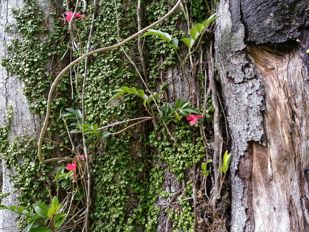 Flores de copihue, Lapageria rosea