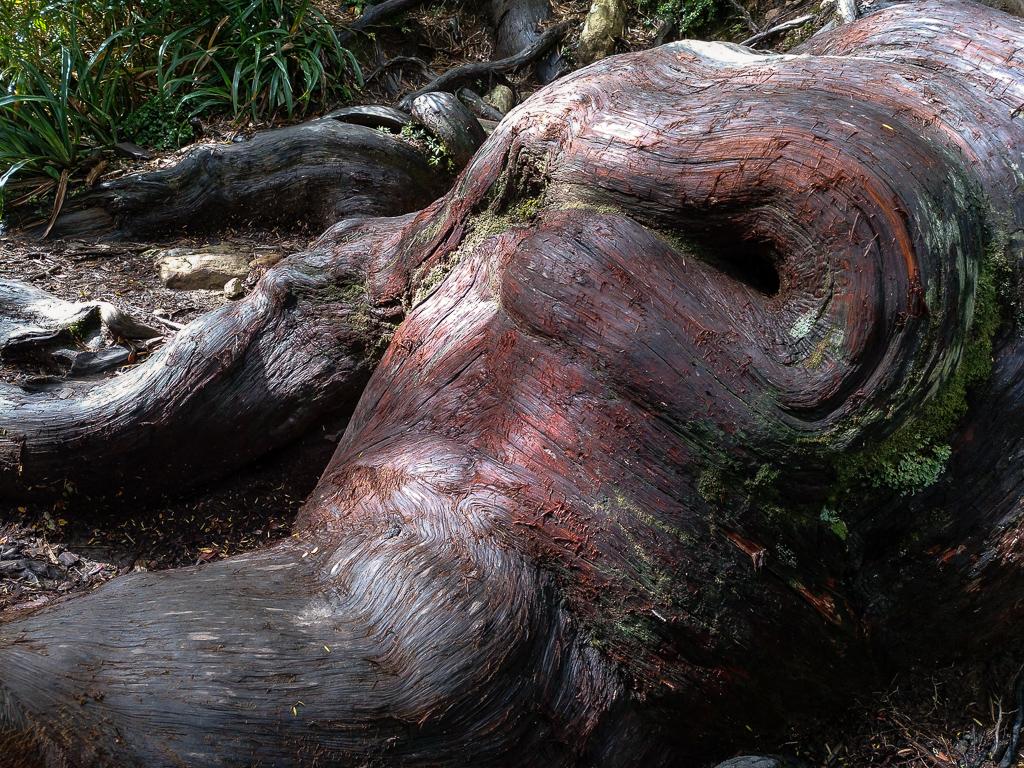 Raices de Fitzroya cupressoides en el Parque Alerce Costero, Chile